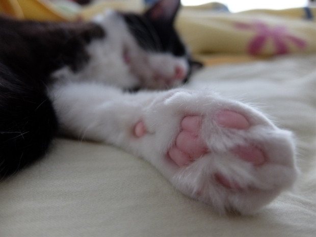 手を見せて横たわる猫