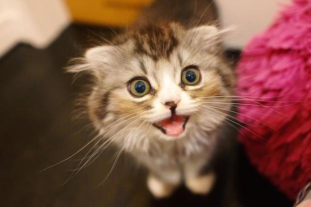 スコのオス猫
