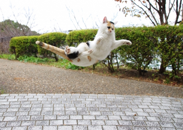 跳ねる三毛猫