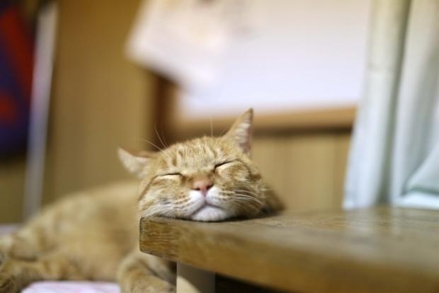 あごのせ猫