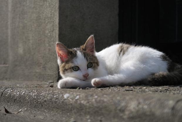 道で寝そべる猫