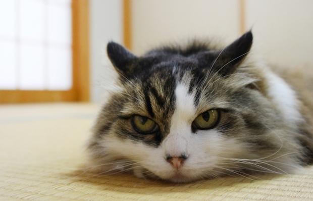 畳から睨んでいる猫