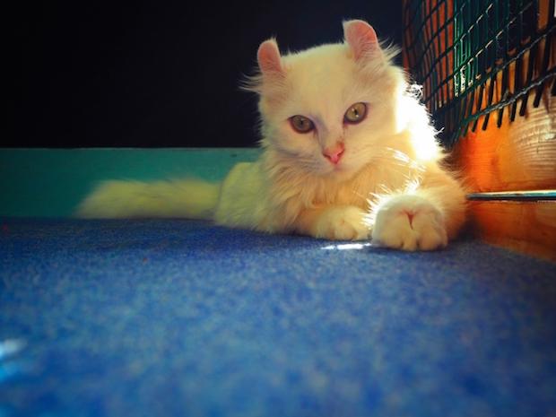 見つめてくる白猫