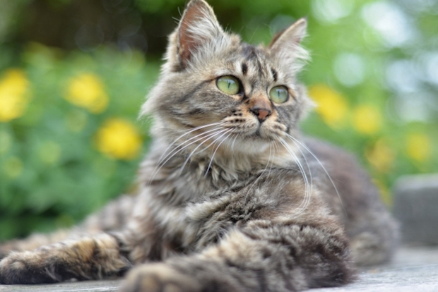 maine_coon