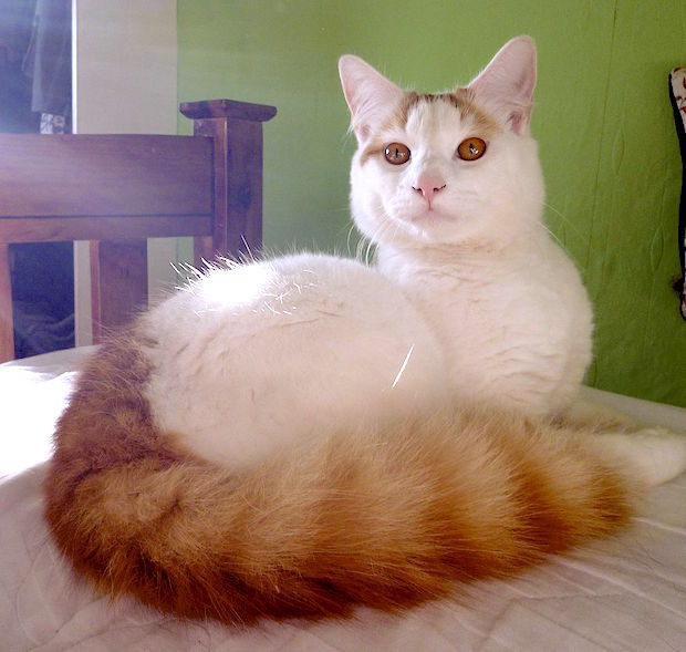 turkish_van