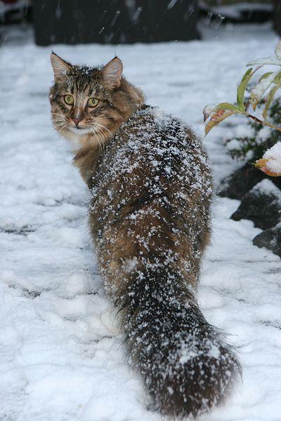 norwegian_in_the_snow