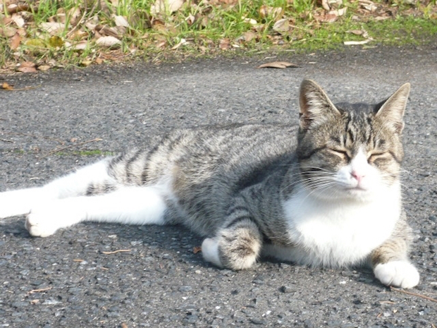 道でひなたぼっこする猫