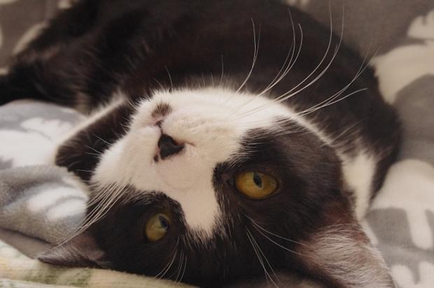 白黒猫の寝転びアップ