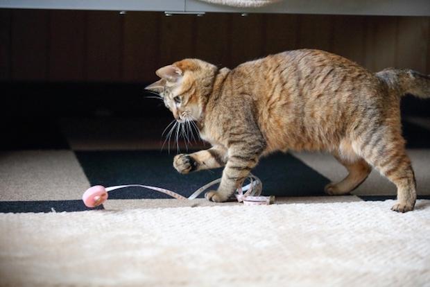メジャーで遊ぶ猫