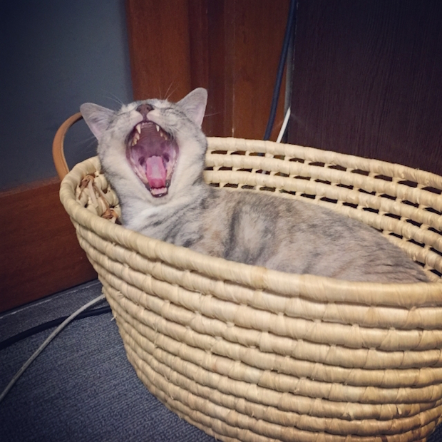 かごの中であくびする猫