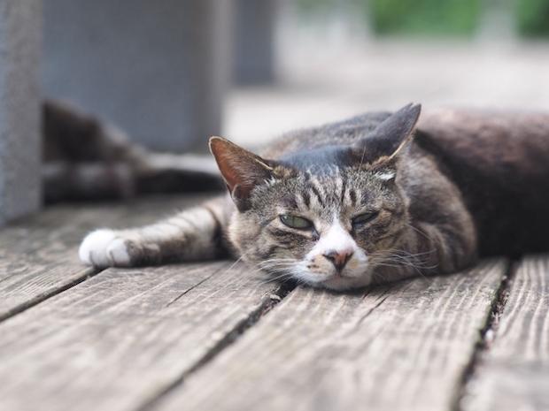 寝っ転がる老猫